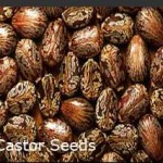 Castor-Oil-Seeds-Traders