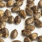 castoroil-seed