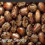 Castor-Oil-Seeds-Traders