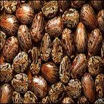Castor-Oil-Seeds2